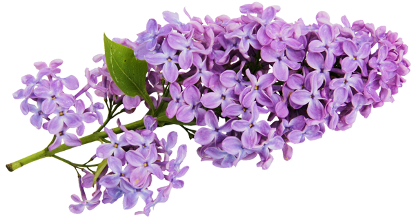 Lilac clipart #3, Download drawings