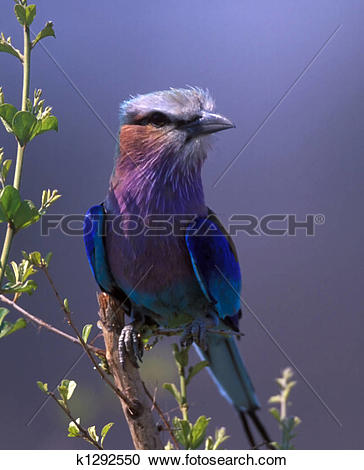 Lilac-breasted Roller clipart #12, Download drawings