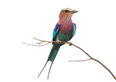 Lilac-breasted Roller clipart #11, Download drawings
