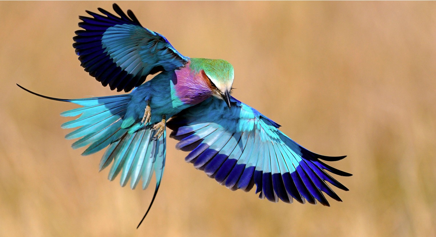 Lilac-breasted Roller clipart #2, Download drawings