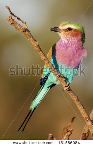 Lilac-breasted Roller clipart #8, Download drawings