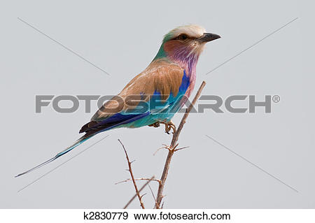 Lilac-breasted Roller clipart #10, Download drawings