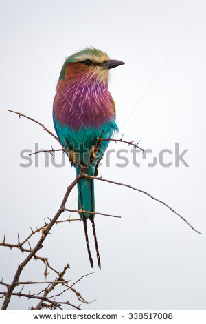 Lilac-breasted Roller clipart #5, Download drawings