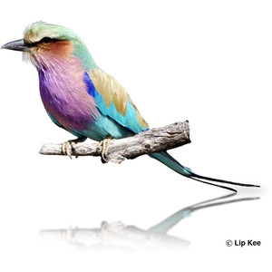 Lilac-breasted Roller clipart #19, Download drawings