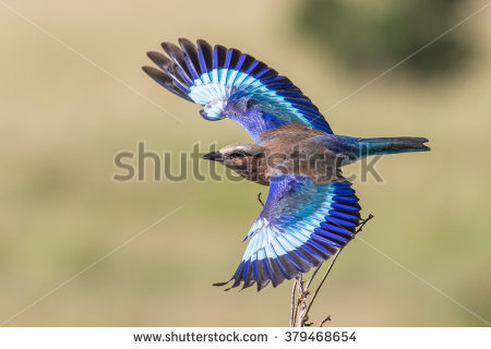 Lilac-breasted Roller clipart #14, Download drawings