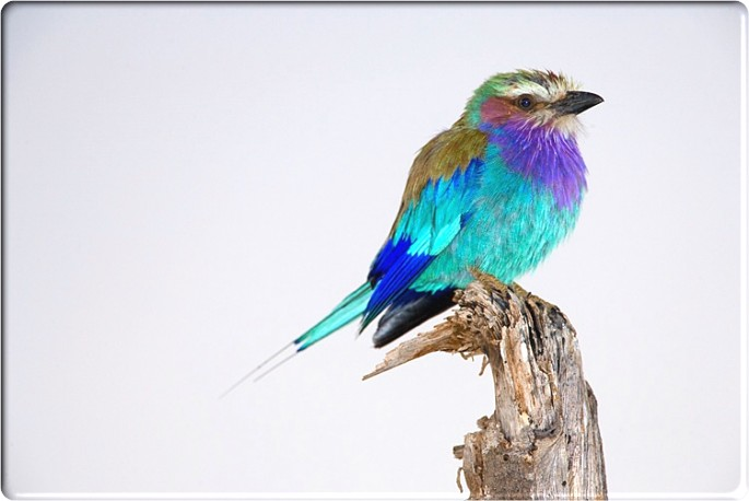 Lilac-breasted Roller clipart #9, Download drawings