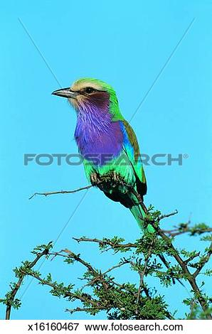 Lilac-breasted Roller clipart #15, Download drawings