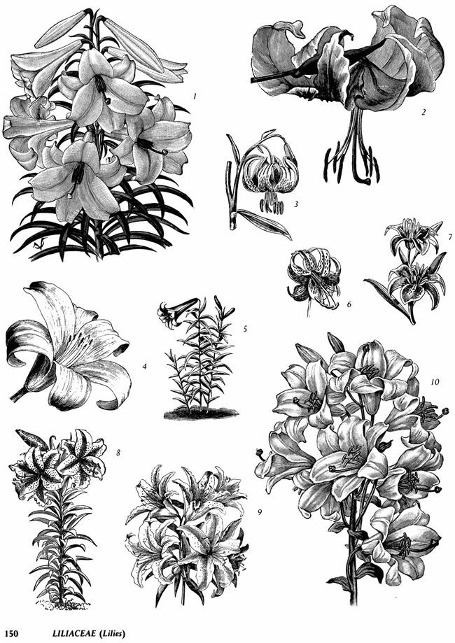 Liliaceae coloring #9, Download drawings