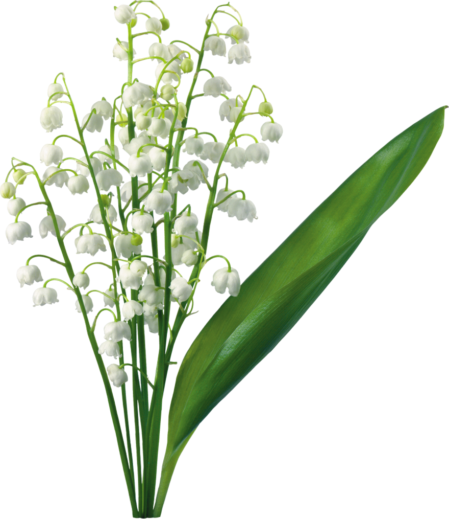 Lily Of The Valley clipart #10, Download drawings