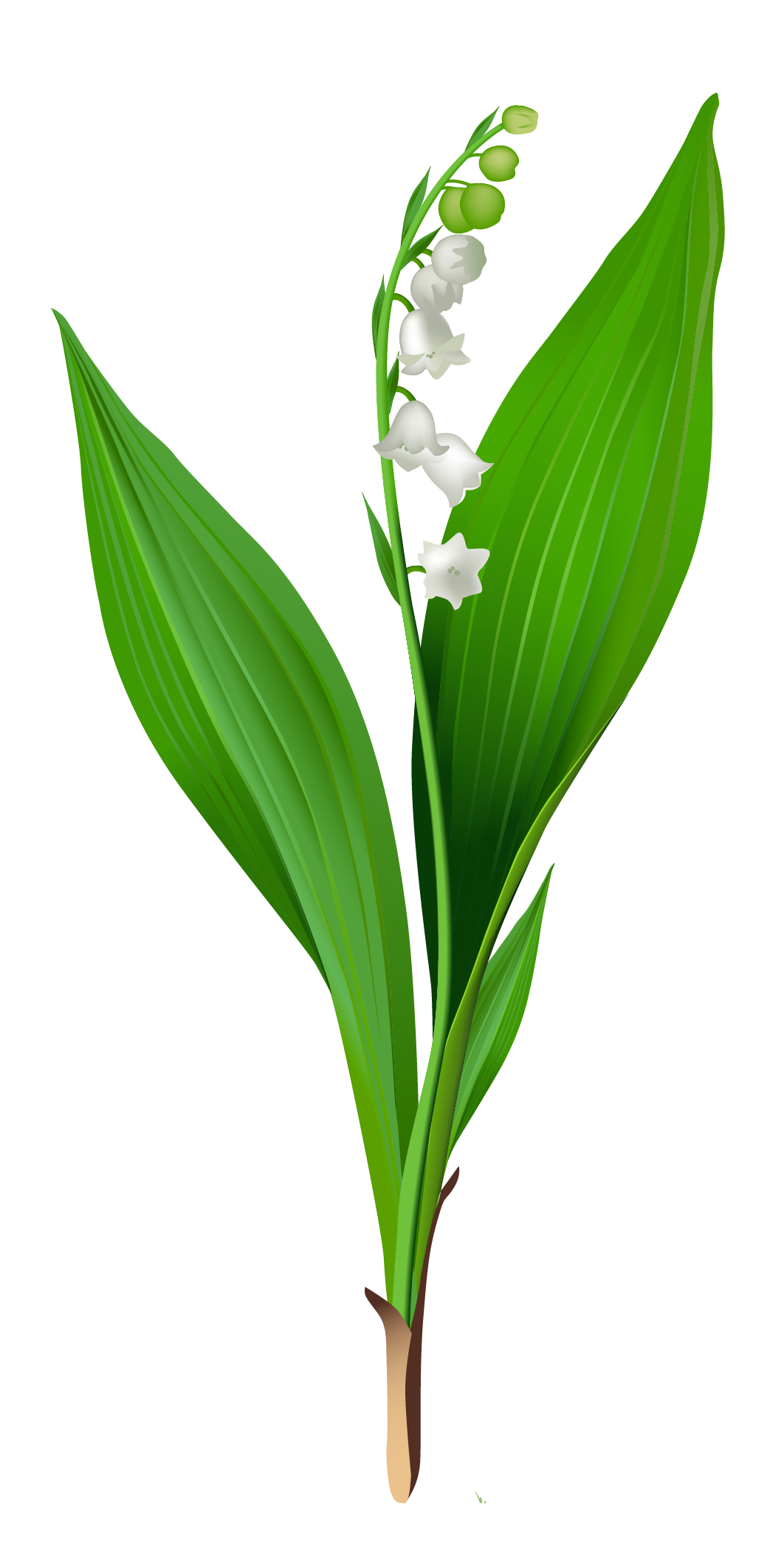 Lily Of The Valley clipart #1, Download drawings
