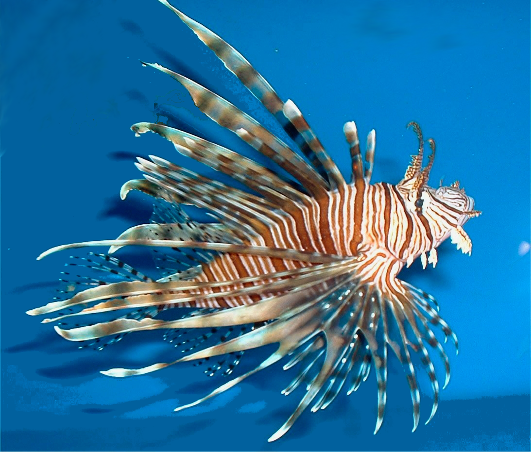 Lionfish svg #14, Download drawings