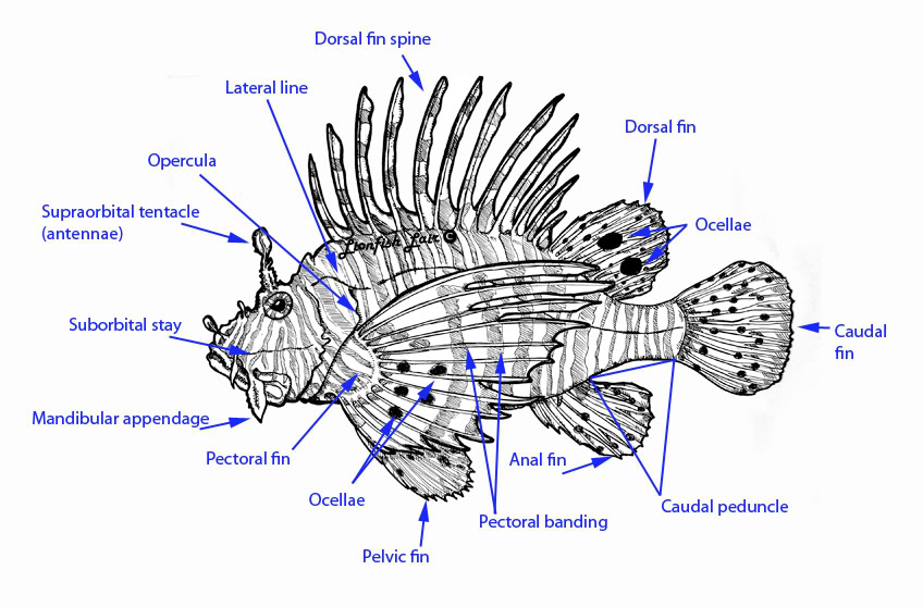 Lionfish svg #6, Download drawings