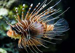 Lionfish svg #12, Download drawings