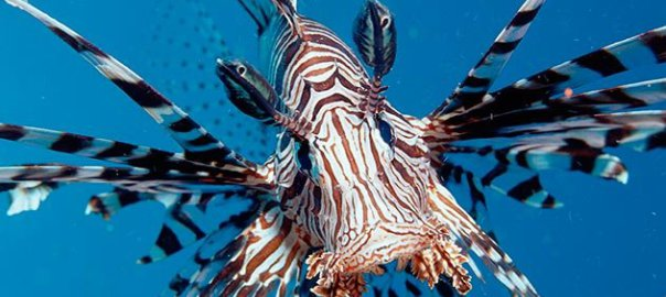 Lionfish svg #17, Download drawings