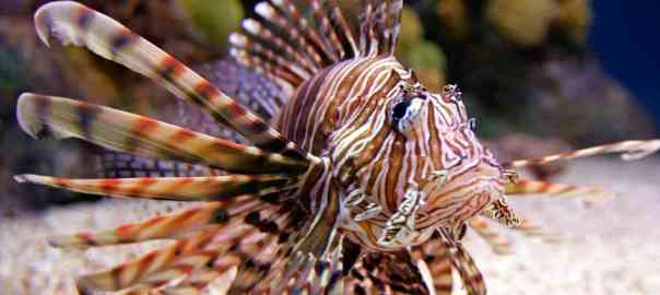 Lionfish svg #16, Download drawings