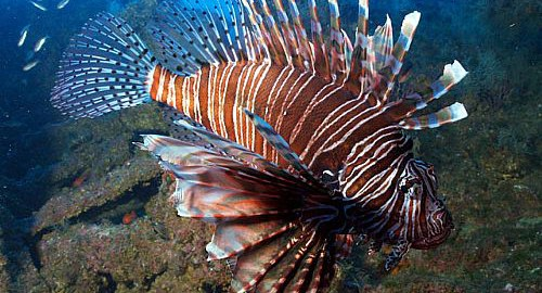Lionfish svg #13, Download drawings