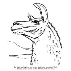Llama coloring #1, Download drawings