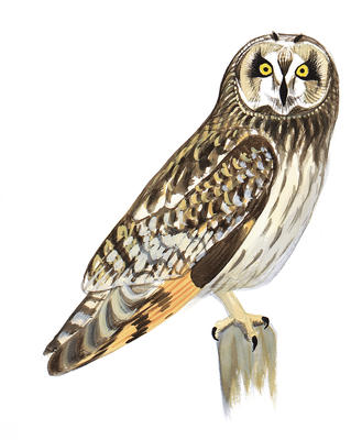 Short-eared Owl clipart #19, Download drawings