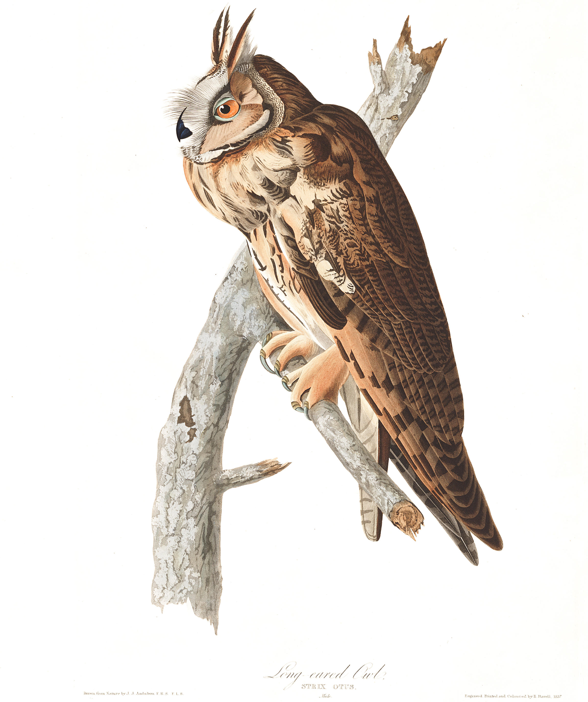 Long Eared Owl clipart #2, Download drawings