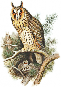 Long Eared Owl clipart #1, Download drawings