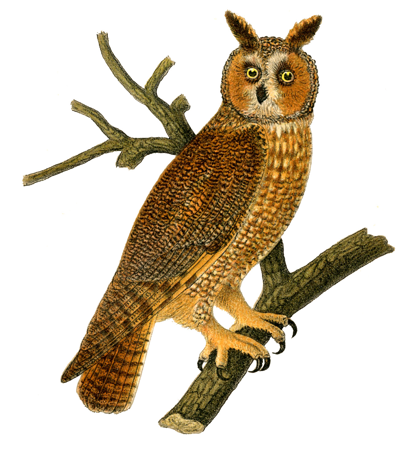 Long Eared Owl clipart #17, Download drawings