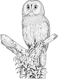 Long Eared Owl coloring #14, Download drawings