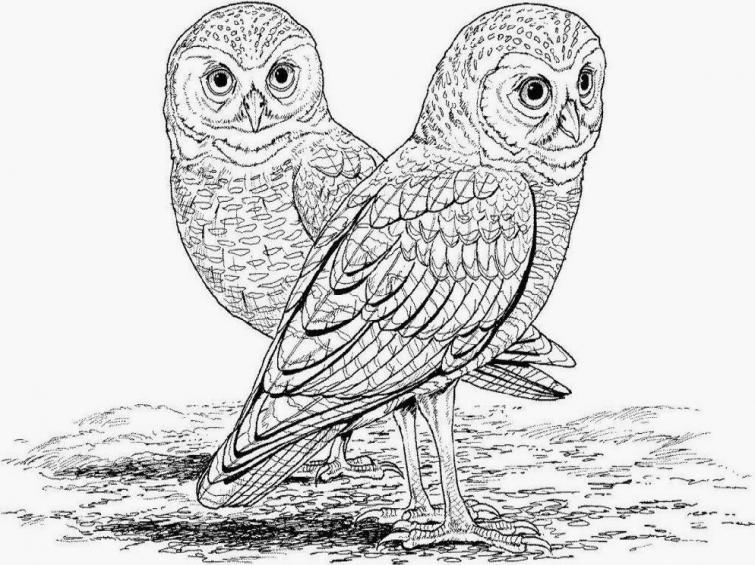 Long Eared Owl coloring #3, Download drawings