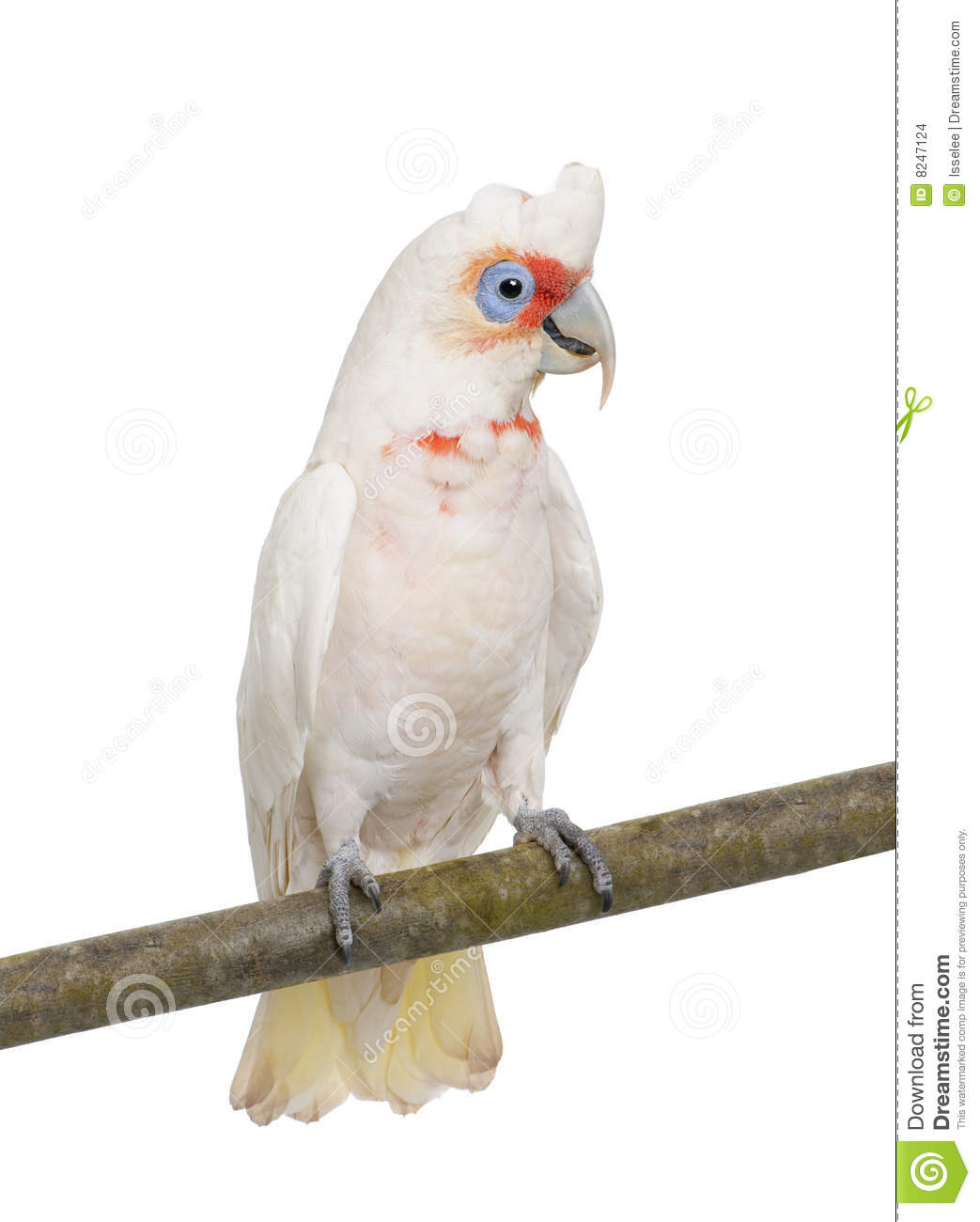 Long-billed Corella clipart #20, Download drawings