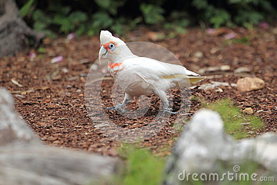 Long-billed Corella clipart #12, Download drawings
