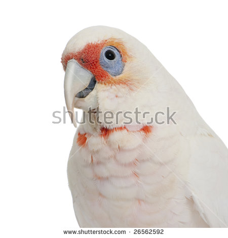 Long-billed Corella clipart #11, Download drawings