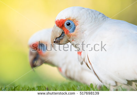 Long-billed Corella clipart #7, Download drawings