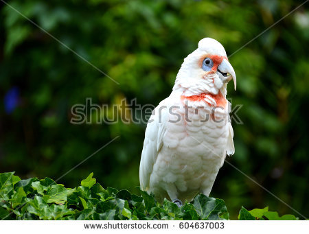 Long-billed Corella clipart #5, Download drawings