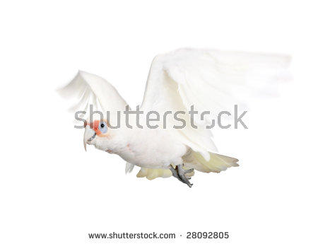 Long-billed Corella clipart #6, Download drawings