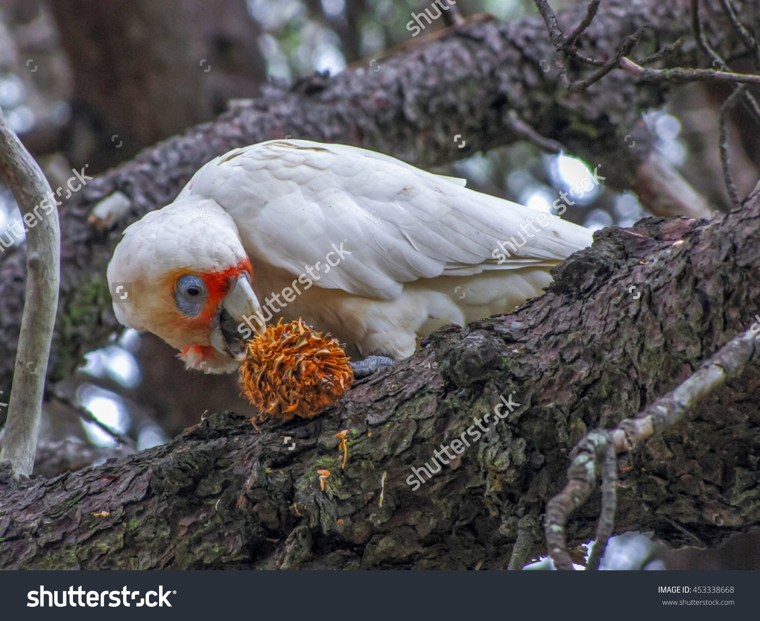 Long-billed Corella clipart #2, Download drawings