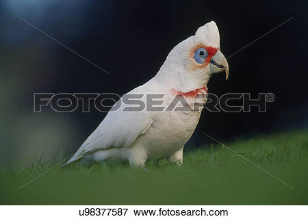 Long-billed Corella clipart #19, Download drawings