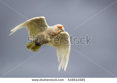 Long-billed Corella clipart #1, Download drawings