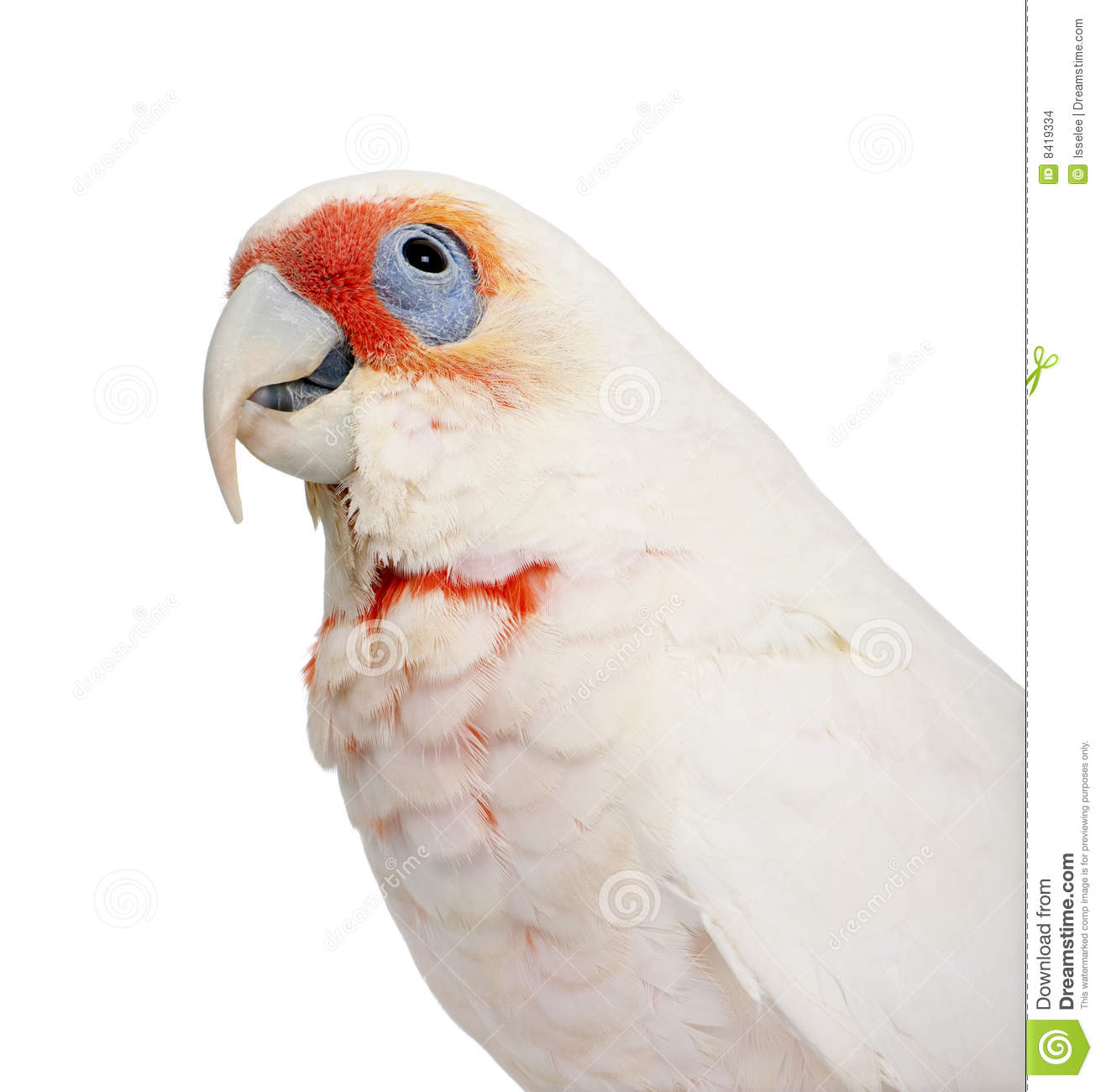 Long-billed Corella clipart #16, Download drawings