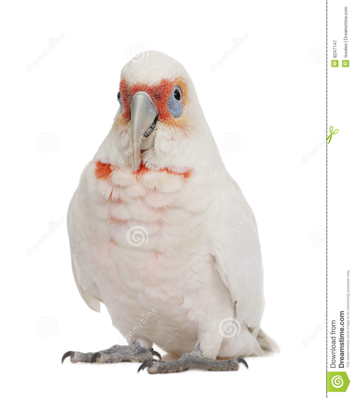 Long-billed Corella clipart #14, Download drawings