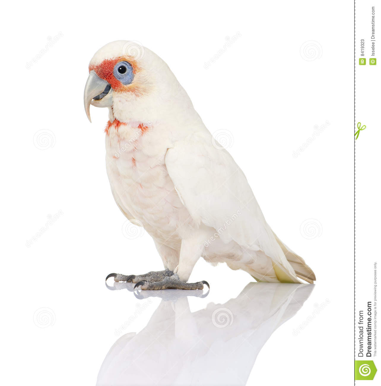 Long-billed Corella clipart #17, Download drawings
