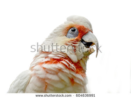 Long-billed Corella clipart #3, Download drawings