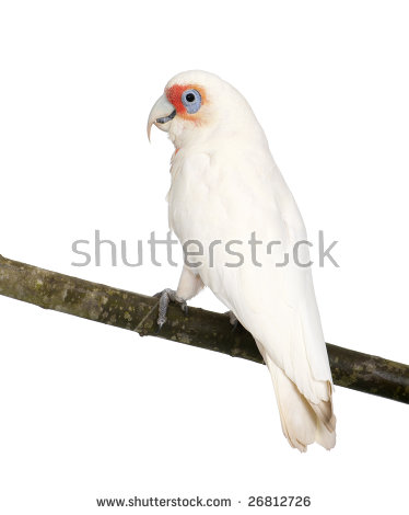 Long-billed Corella clipart #13, Download drawings