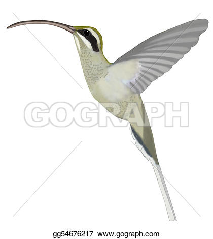 Long-billed Hermit clipart #15, Download drawings