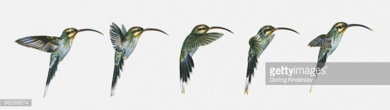 Long-billed Hermit clipart #5, Download drawings