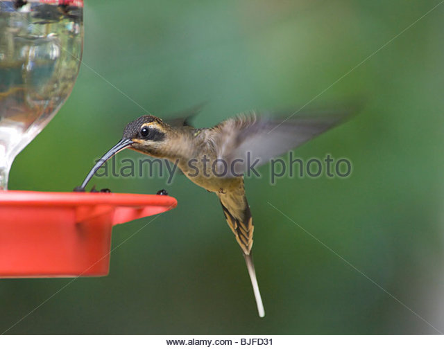 Long-billed Hermit clipart #14, Download drawings