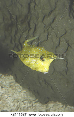 Longhorn Cowfish clipart #6, Download drawings