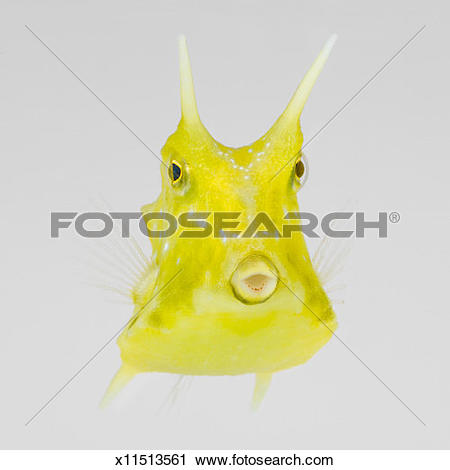 Longhorn Cowfish clipart #7, Download drawings