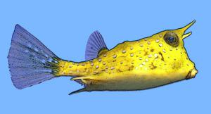 Longhorn Cowfish clipart #15, Download drawings