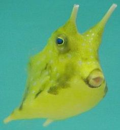 Longhorn Cowfish svg #9, Download drawings