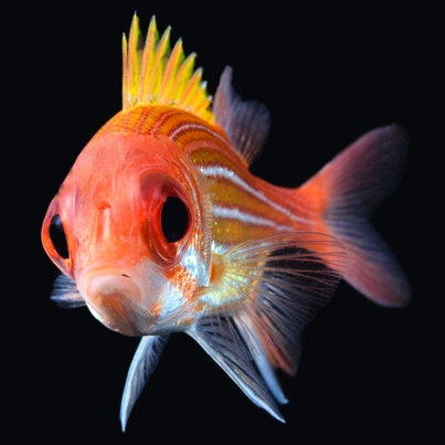 Longjaw Squirrelfish clipart #5, Download drawings