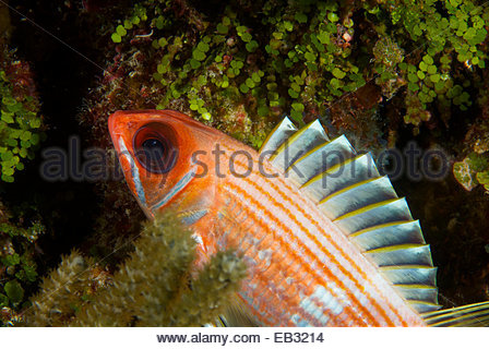Longjaw Squirrelfish clipart #8, Download drawings